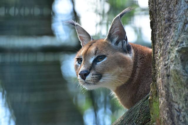 caracal kočka